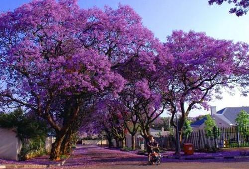 迎来紫色的春天———南非的很多城市都种有紫薇花树
